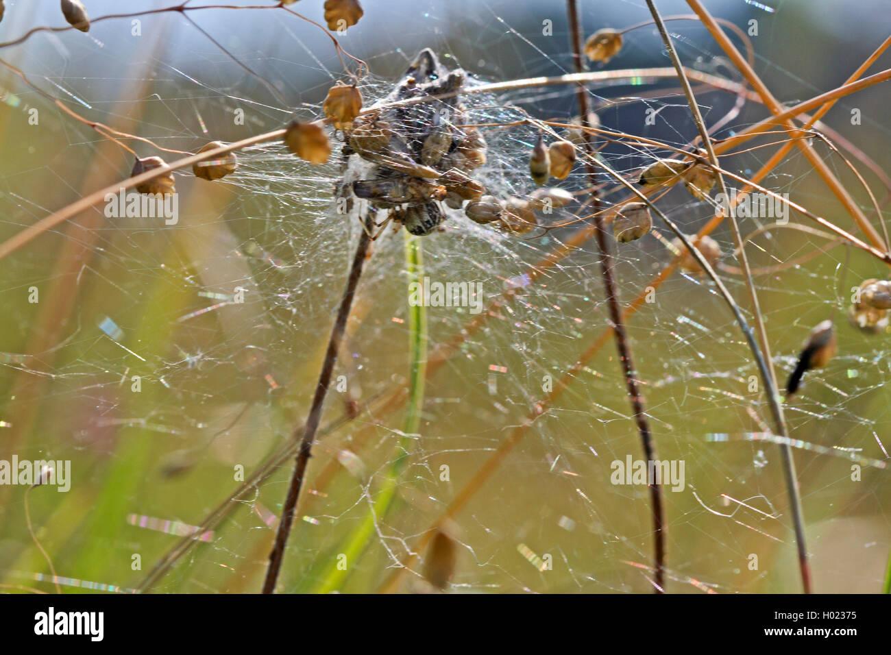 Braune Kugelspinne, Braunweisse Kugelspinne (Theridion impressum, Phylloneta impressa), Netz im Zittergras, Deutschland - Stock Image