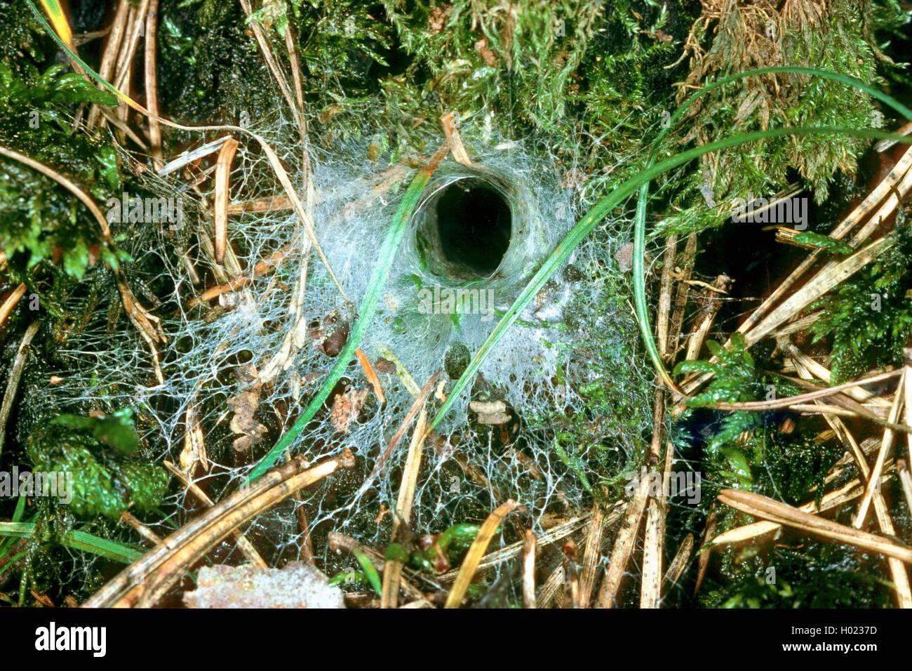 Erd-Finsterspinne, Erdfinsterspinne, Waldboden-Finsterspinne, Waldbodenfinsterspinne, Trichternetz-Spinne, Trichternetzspinne - Stock Image