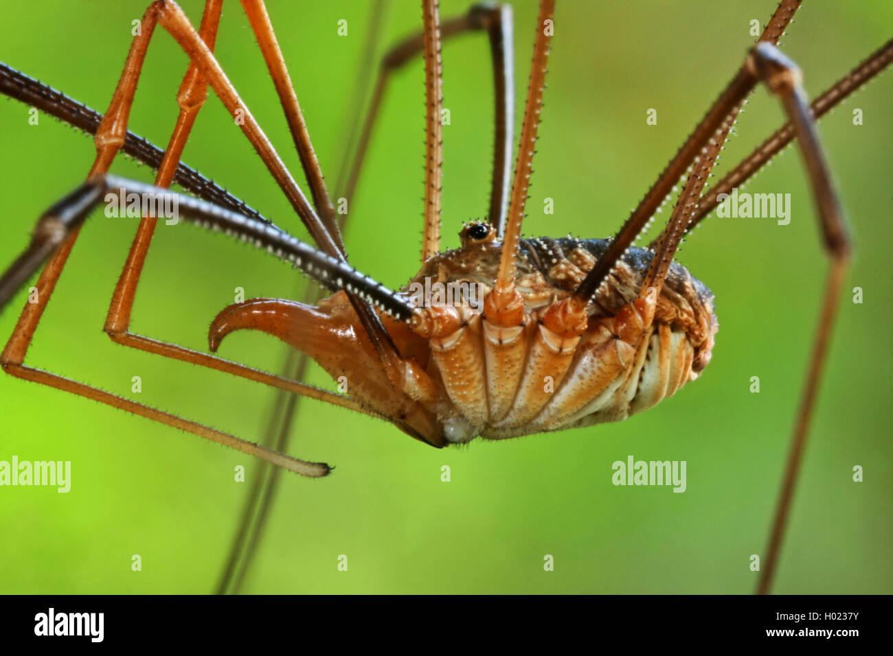 Gemeiner Weberknecht (Phalangium opilio), Detail, Deutschland | Common harvestman, Daddy longleg (Phalangium opilio), - Stock Image