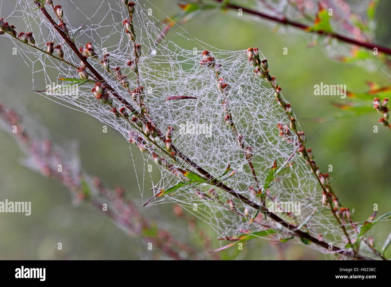 Kugelspinne, Haubennetzspinne (Theridiidae), Netz einer Kugelspinne an Beifuss, Deutschland | comb-footed spider, - Stock Image