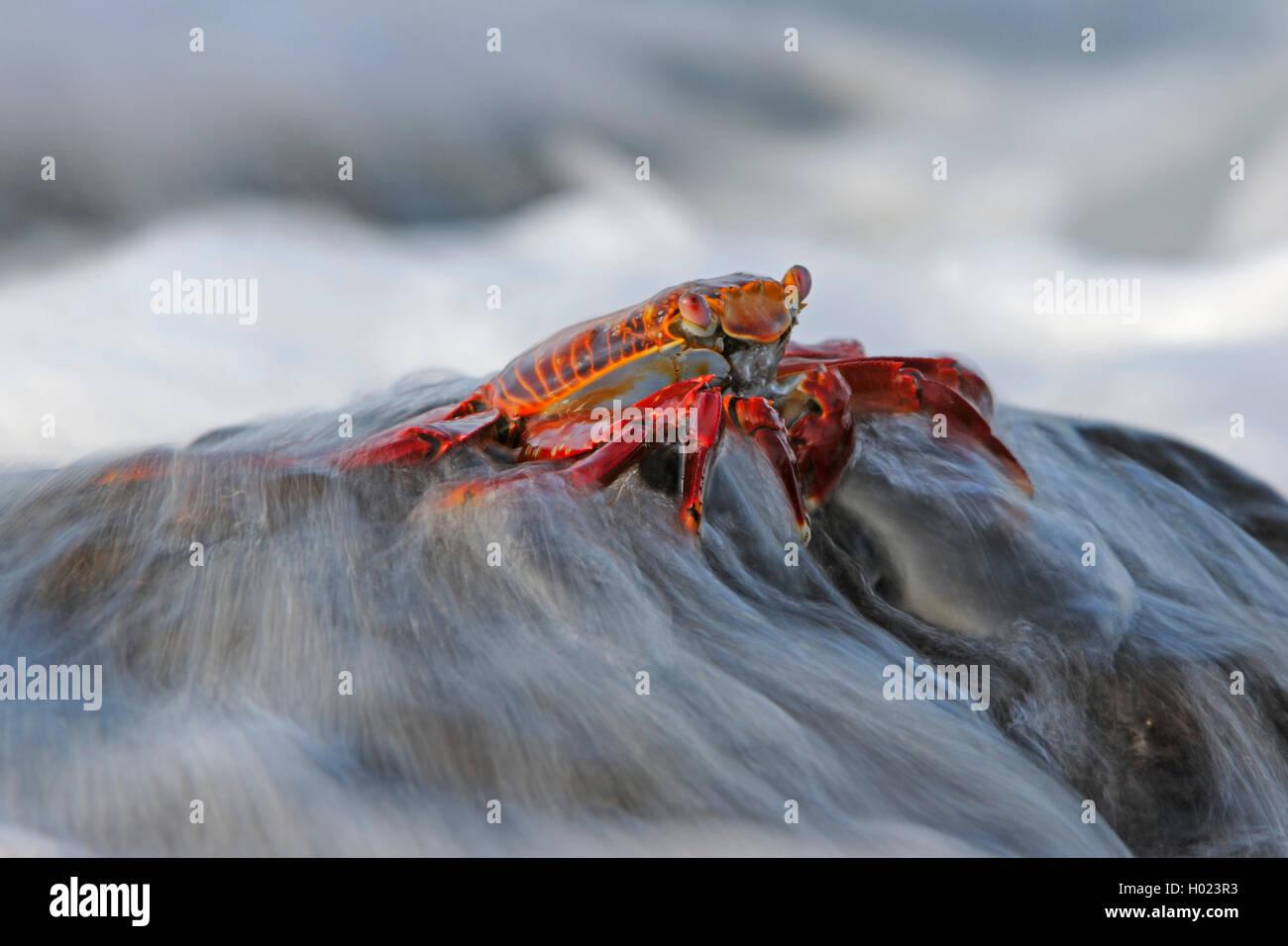 Rote Klippenkrabbe, Rote Klippen-Krabbe, Klippenkrabbe, Klippen-Krabbe, Felsenkrabbe, Felsen-Krabbe, Rote Felsenkrabbe, - Stock Image
