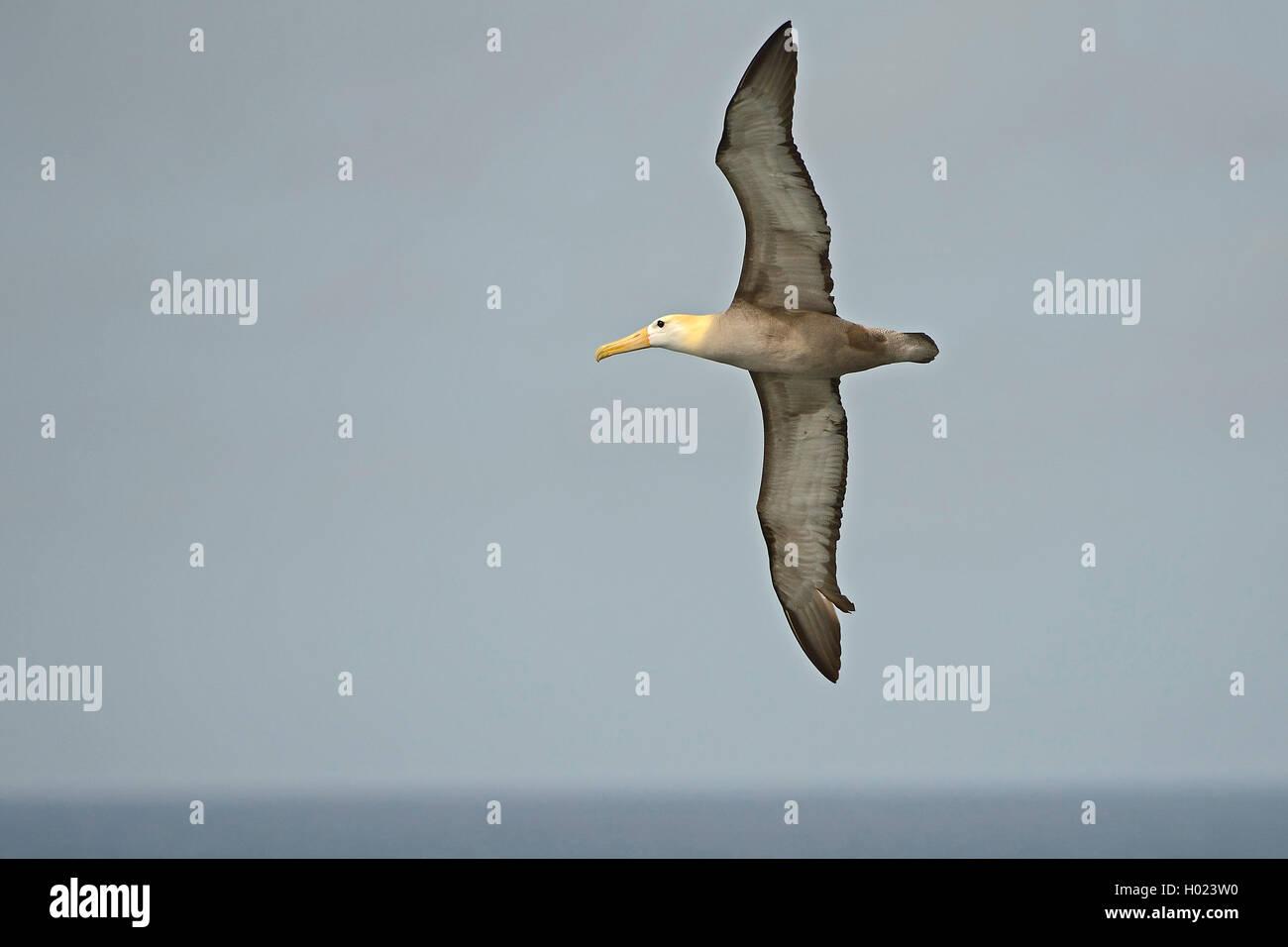 Galapagosalbatros, Galapagos-Albatros (Diomedea irrorata, Phoebastria irrorata), im Flug, Ecuador, Galapagos-Inseln, - Stock Image