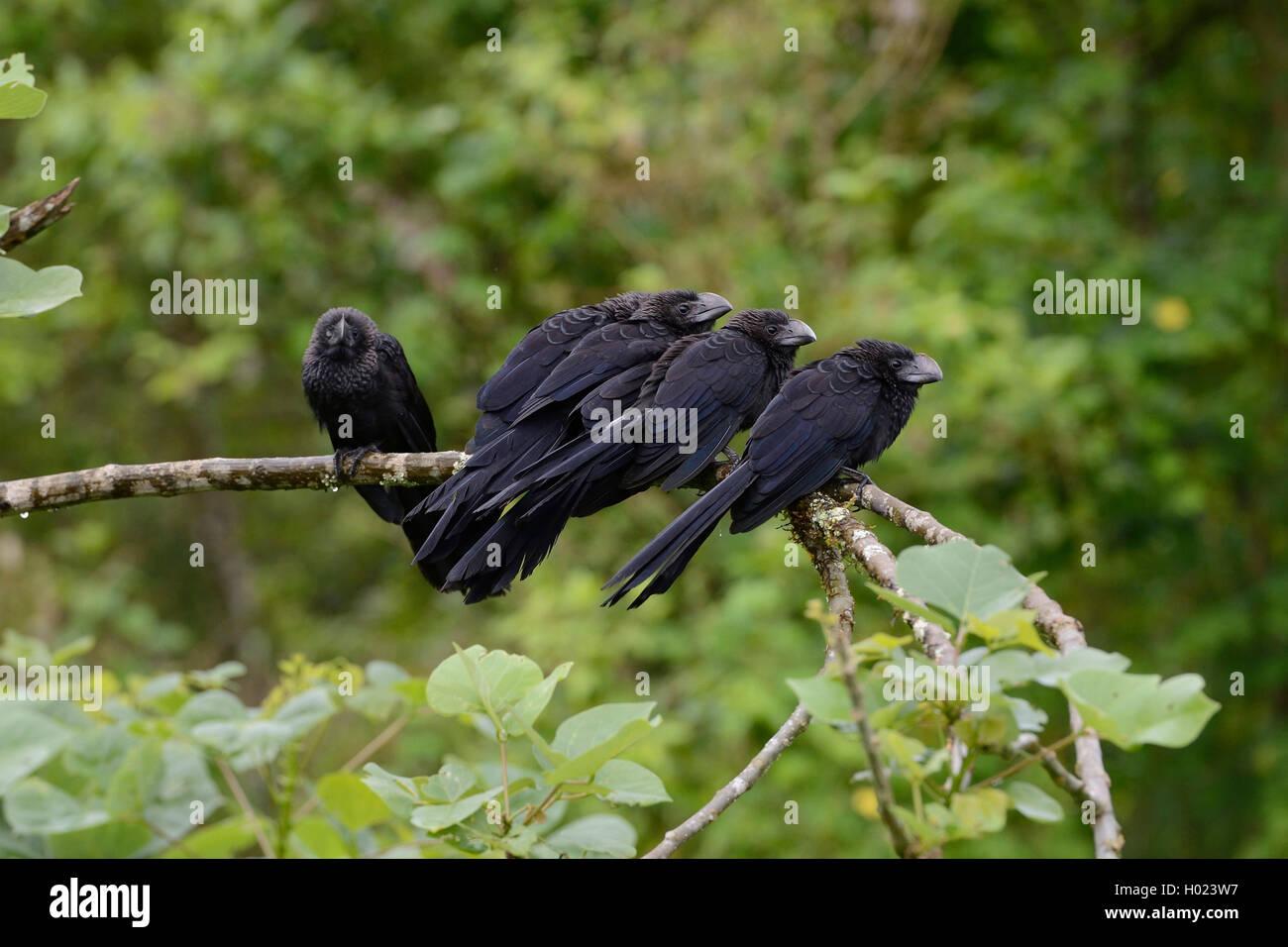 Glattschnabelani, Glattschnabel-Ani, Ani (Crotophaga ani), Gruppe sitzt auf einem Ast, Ecuador, Galapagos-Inseln, - Stock Image