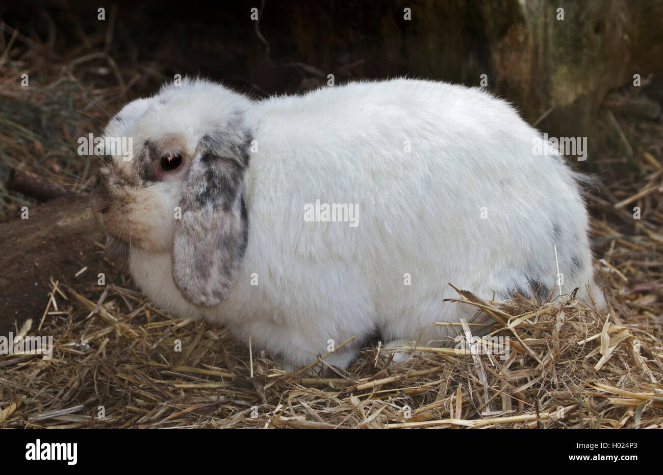 White Lop-Eared Rabbit - Stock Image