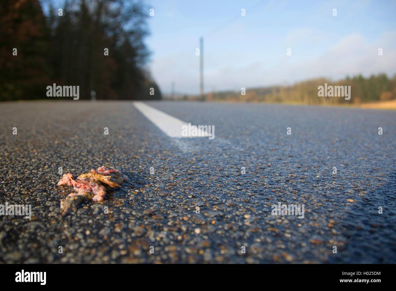 Erdkroete, Erd-Kroete (Bufo bufo), ueberfahren auf Strasse, Deutschland, Bayern, Niederbayern | European common Stock Photo