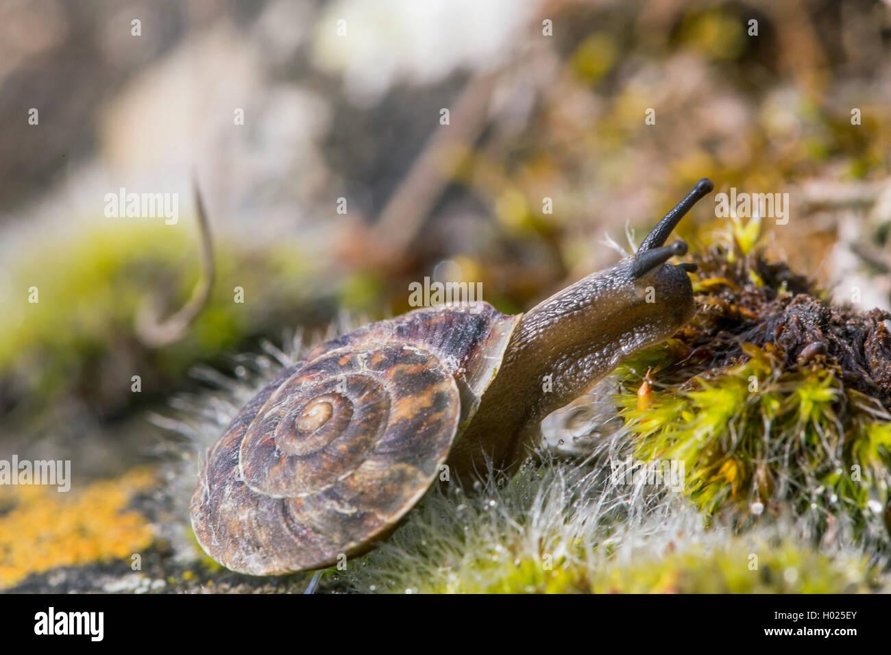 Steinpicker (Helicigona lapicida, Chilotrema lapicida, Latomus lapicida), kriecht zwischen Moos, Deutschland, Bayern, - Stock Image