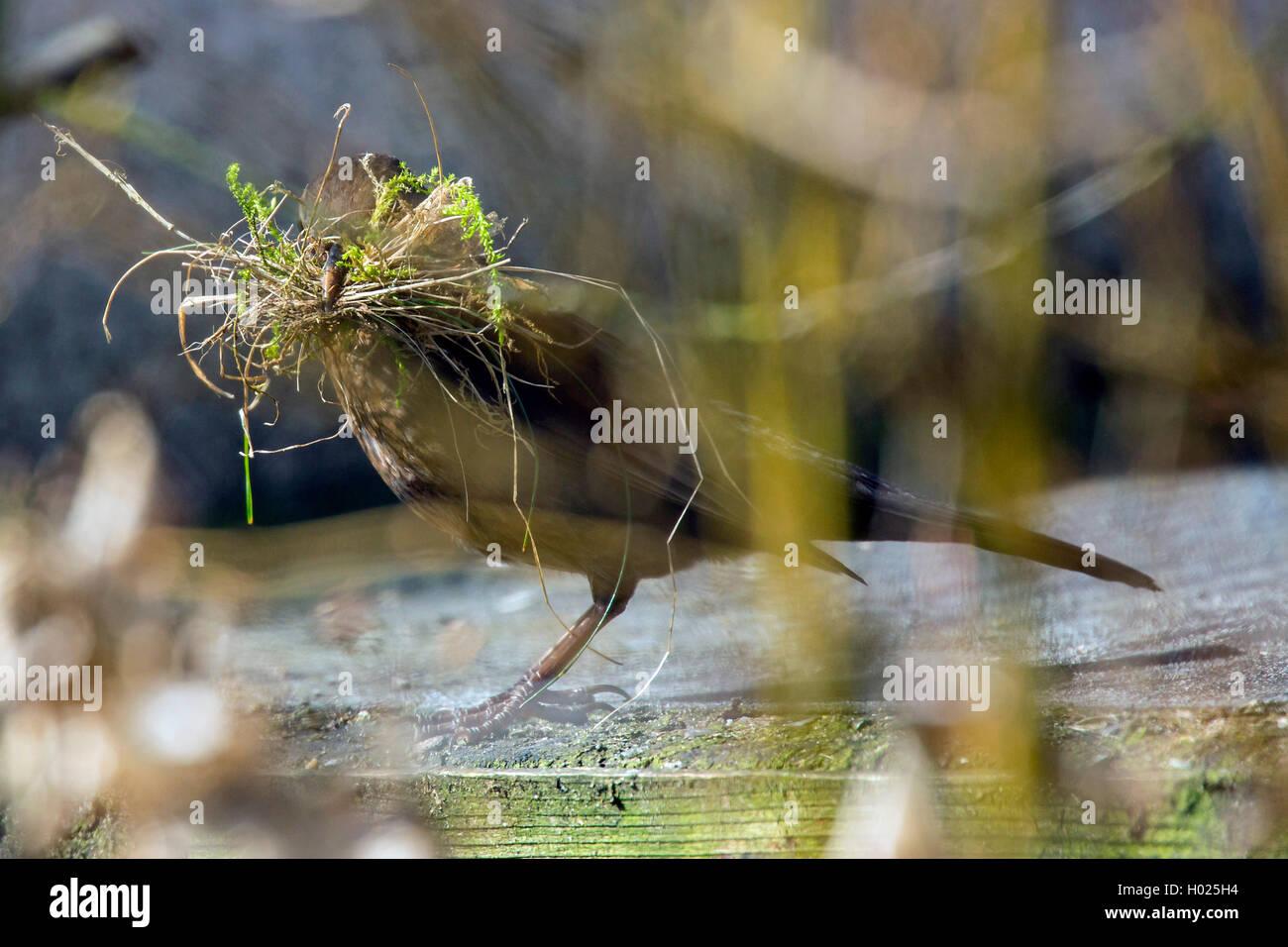 Amsel, Schwarzdrossel (Turdus merula), Weibchen sammelt Nistmaterial, Deutschland, Bayern, Niederbayern | blackbird Stock Photo