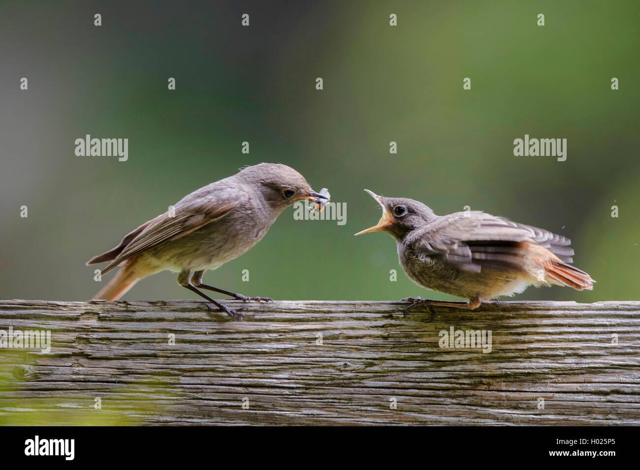 Hausrotschwanz, Haus-Rotschwanz (Phoenicurus ochruros), Weibchen fuettert bettelnden flueggen Jungvogel mit einem - Stock Image