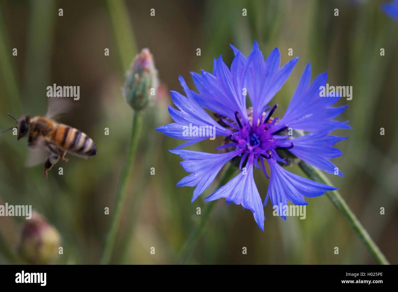 Kornblume (Centaurea cyanus), Bluete mit abfliegender Honigbiene, Deutschland, Bayern | bachelor's button, bluebottle, - Stock Image