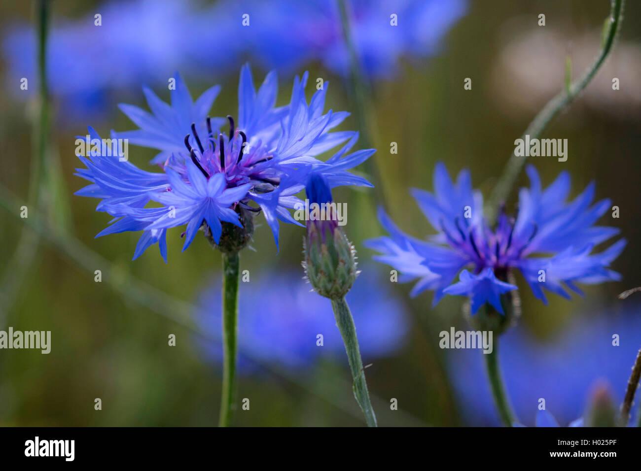 Kornblume (Centaurea cyanus), blaue Blueten, Deutschland, Bayern   bachelor's button, bluebottle, cornflower - Stock Image