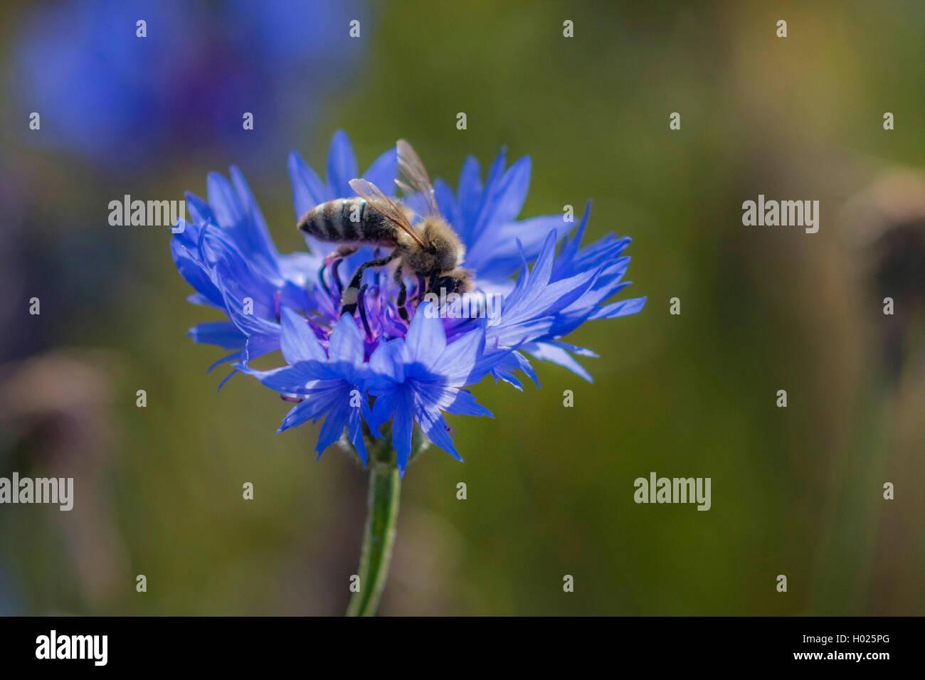 Kornblume (Centaurea cyanus), Bluete mit Honigbiene, Deutschland, Bayern   bachelor's button, bluebottle, cornflower - Stock Image