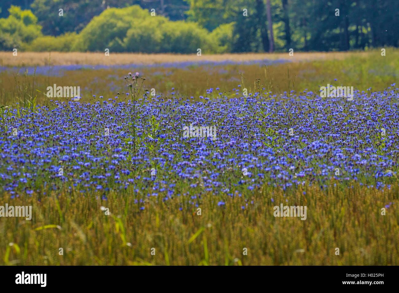 Kornblume (Centaurea cyanus), dichter bluehender Bestand in Weizenfeld, Deutschland, Bayern   bachelor's button, - Stock Image