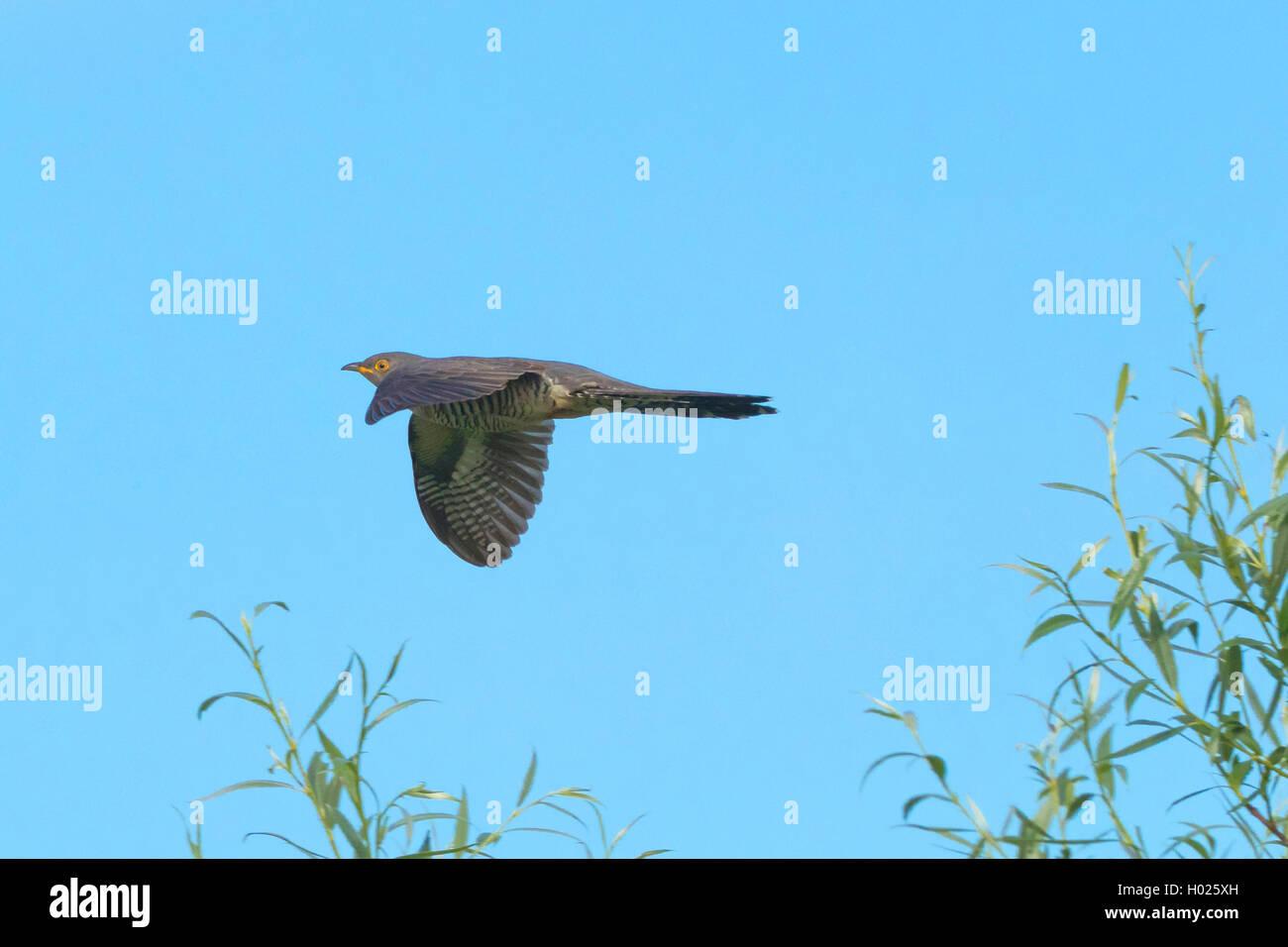 Kuckuck (Cuculus canorus), fliegend, Deutschland, Bayern | Eurasian cuckoo (Cuculus canorus), flying, Germany, Bavaria - Stock Image
