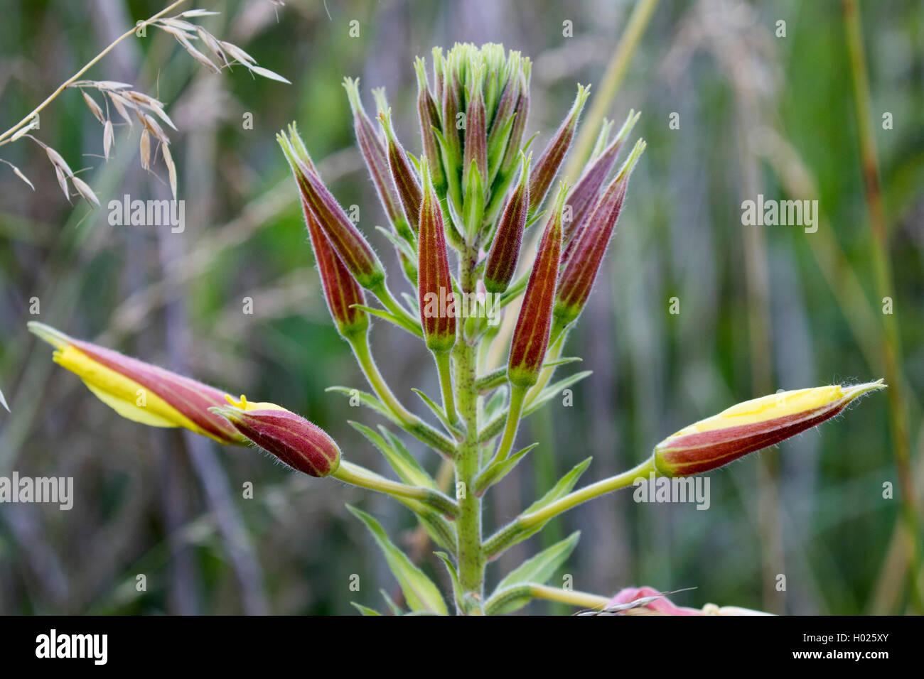 Large-Flowered Evening, Red-Sepaled Evening-Primrose, Large-Leaved Evening Primerose (Oenothera glazioviana, Oenothera Stock Photo