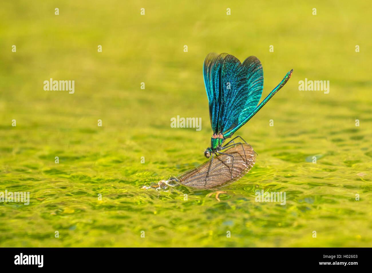 Blaufluegel-Prachtlibelle, Blaufluegelprachtlibelle (Calopteryx virgo), Weibchen bei der Eiablage, bewacht von aufsitzendem - Stock Image