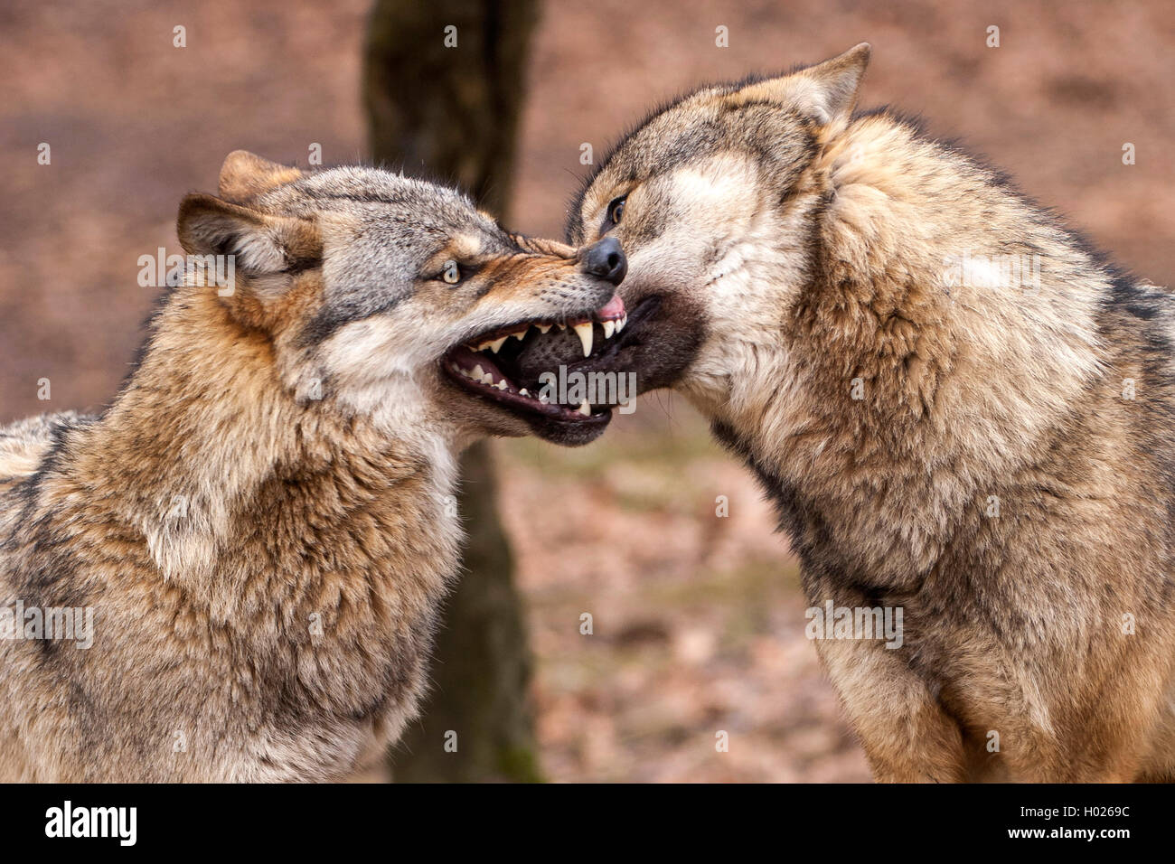 European gray wolf (Canis lupus lupus), bite inhibition of two wolves, Germany, Lower Saxony Stock Photo