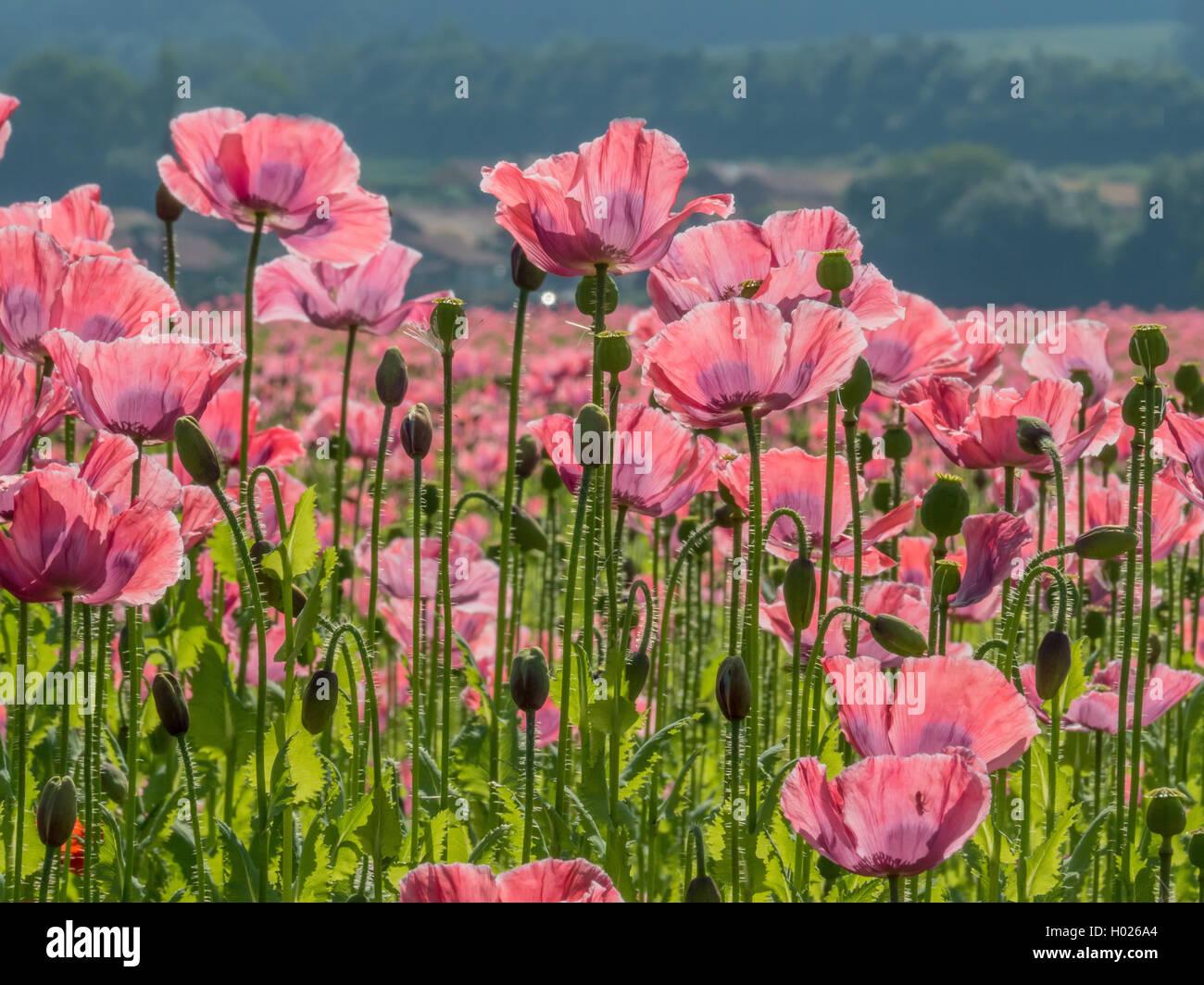 opium poppy (Papaver somniferum), blooming field, Austria Stock Photo