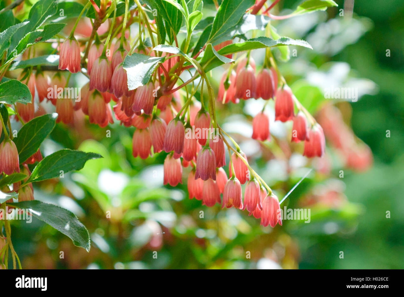 Prachtglocke, Glockige Prachtglocke, Red Bells (Enkianthus campanulatus 'Red Bells', Enkianthus campanulatus Red Stock Photo