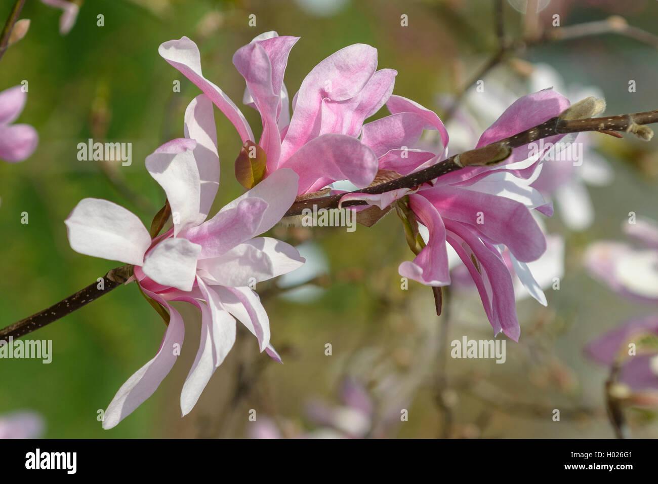 magnolia (Magnolia x loebneri 'Leonard Messel', Magnolia x loebneri Leonard Messel), cultivar Leonard Messel Stock Photo