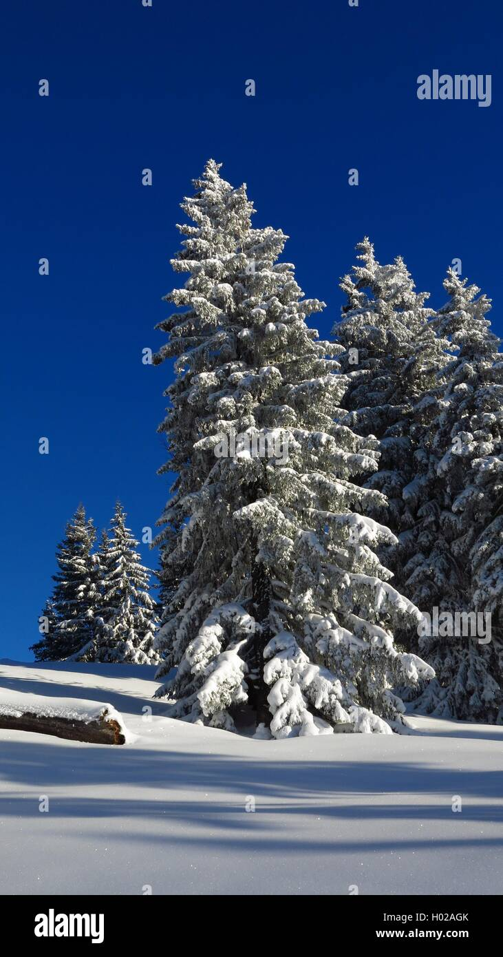 Snow covered firs in Gstaad, Swiss Alps. Idyllic winter scene. - Stock Image