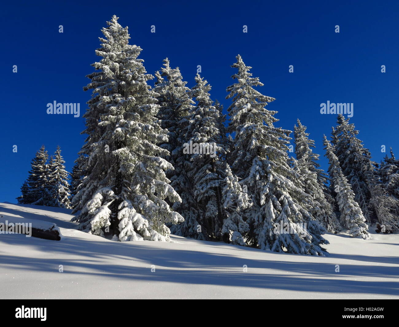 Snow covered firs in the Bernese Oberland. Idyllic winter scene. - Stock Image