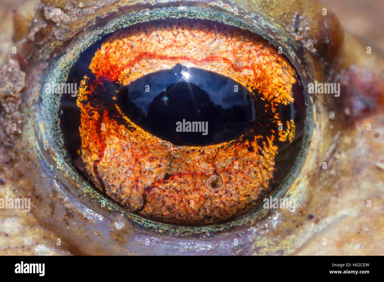 Erdkroete, Erd-Kroete (Bufo bufo), Auge in Nahaufnahme, Deutschland, Bayern, Niederbayern | European common toad - Stock Image