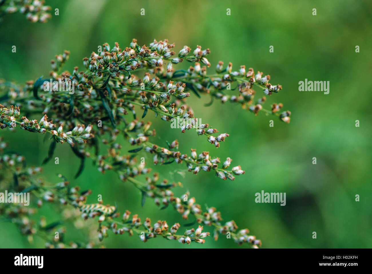 Ragweed or ambrosia plant, its pollen is notorious for causing allergic reactions in humans, selective focus Stock Photo