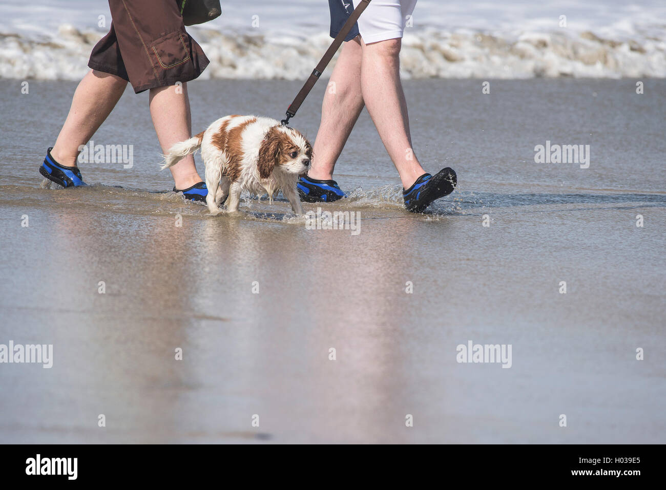 An unhappy looking dog is taken for a paddle on Fistral Beach in Newquay, Cornwall. - Stock Image