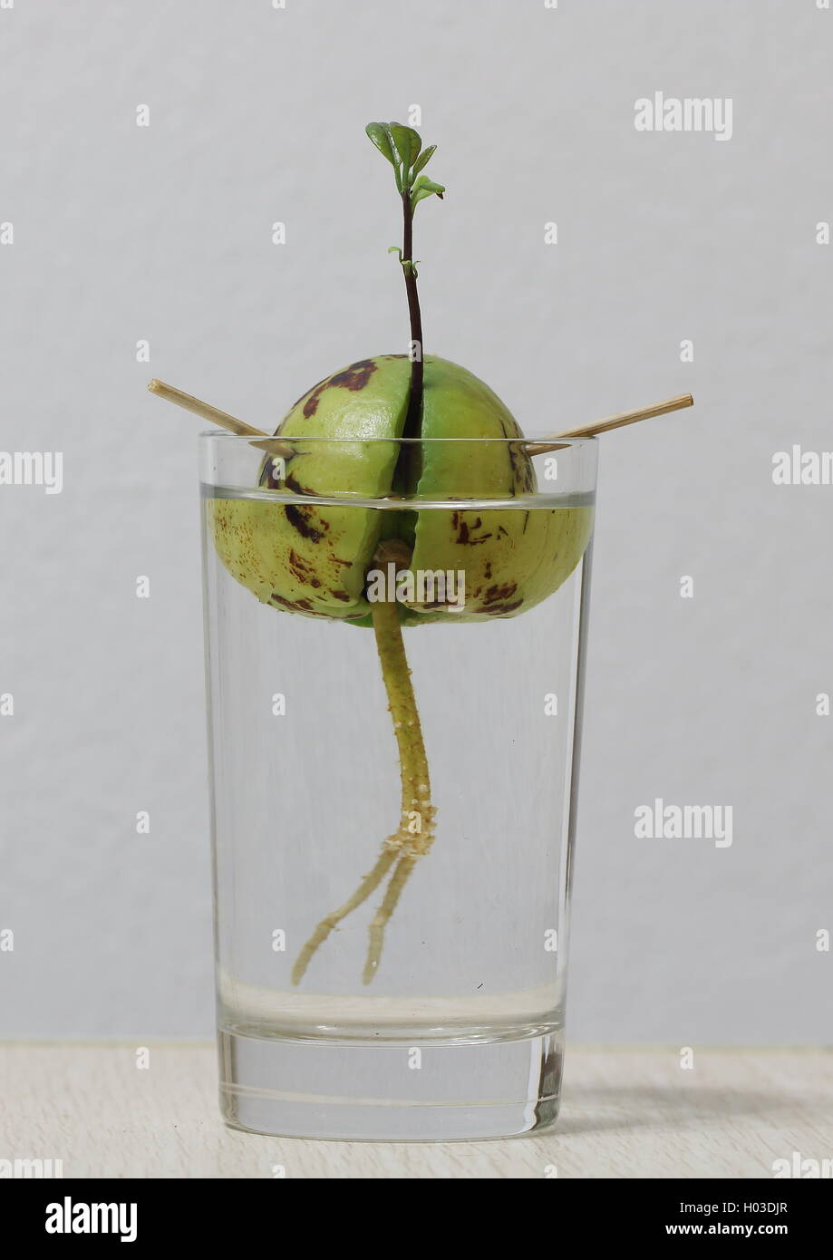 Avocado seed with new sprouting and roots in a glass of water - Stock Image