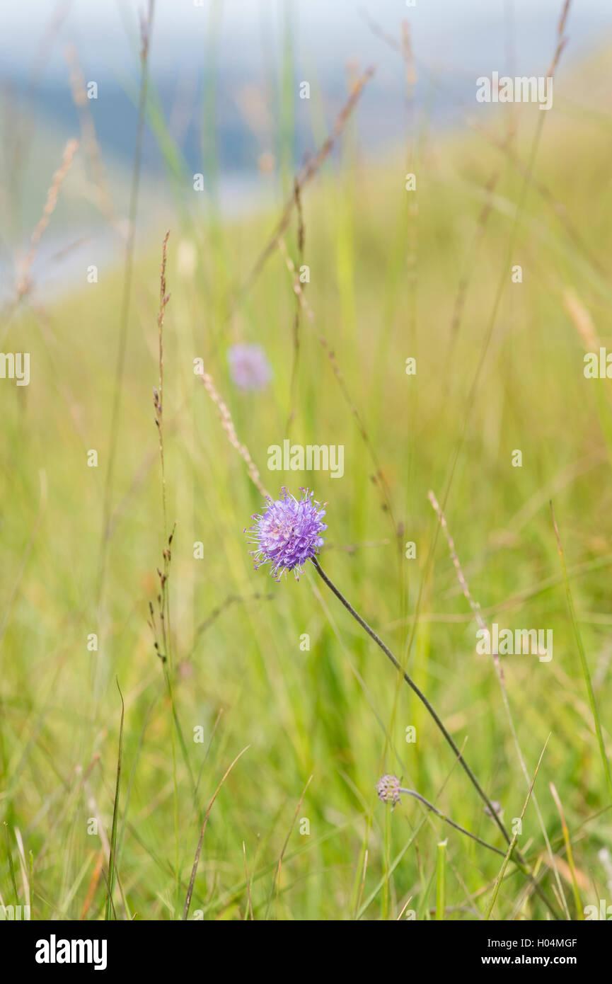 Succisa pratensis. Devil's bit scabious in the Scottish countryside. Scotland - Stock Image