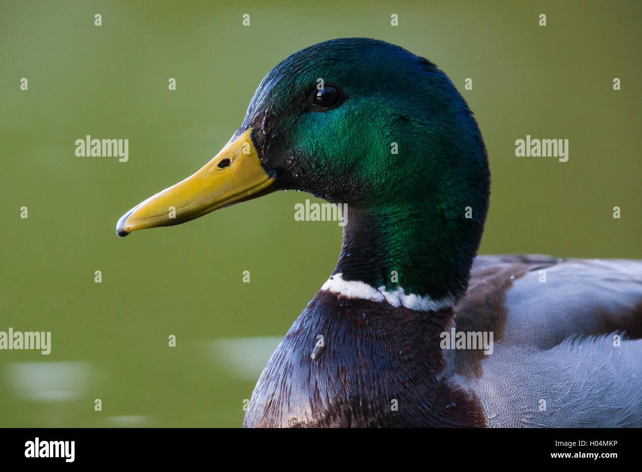 Mallard (Anas platyrhynchos), adult close-up - Stock Image