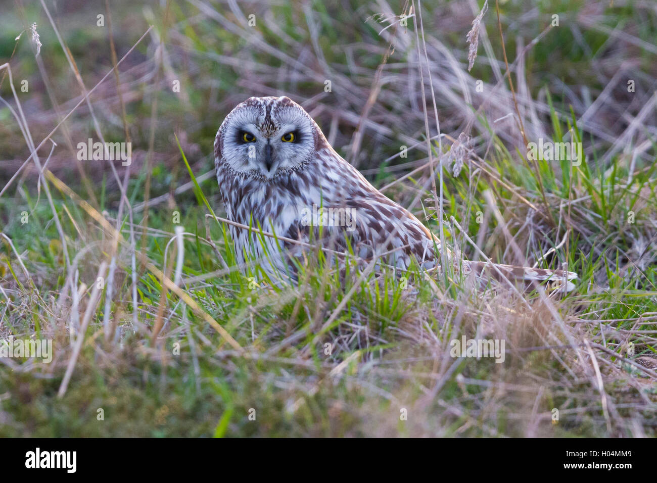 Short-eared Owl (Asio flammeus), adult sitting on the ground - Stock Image