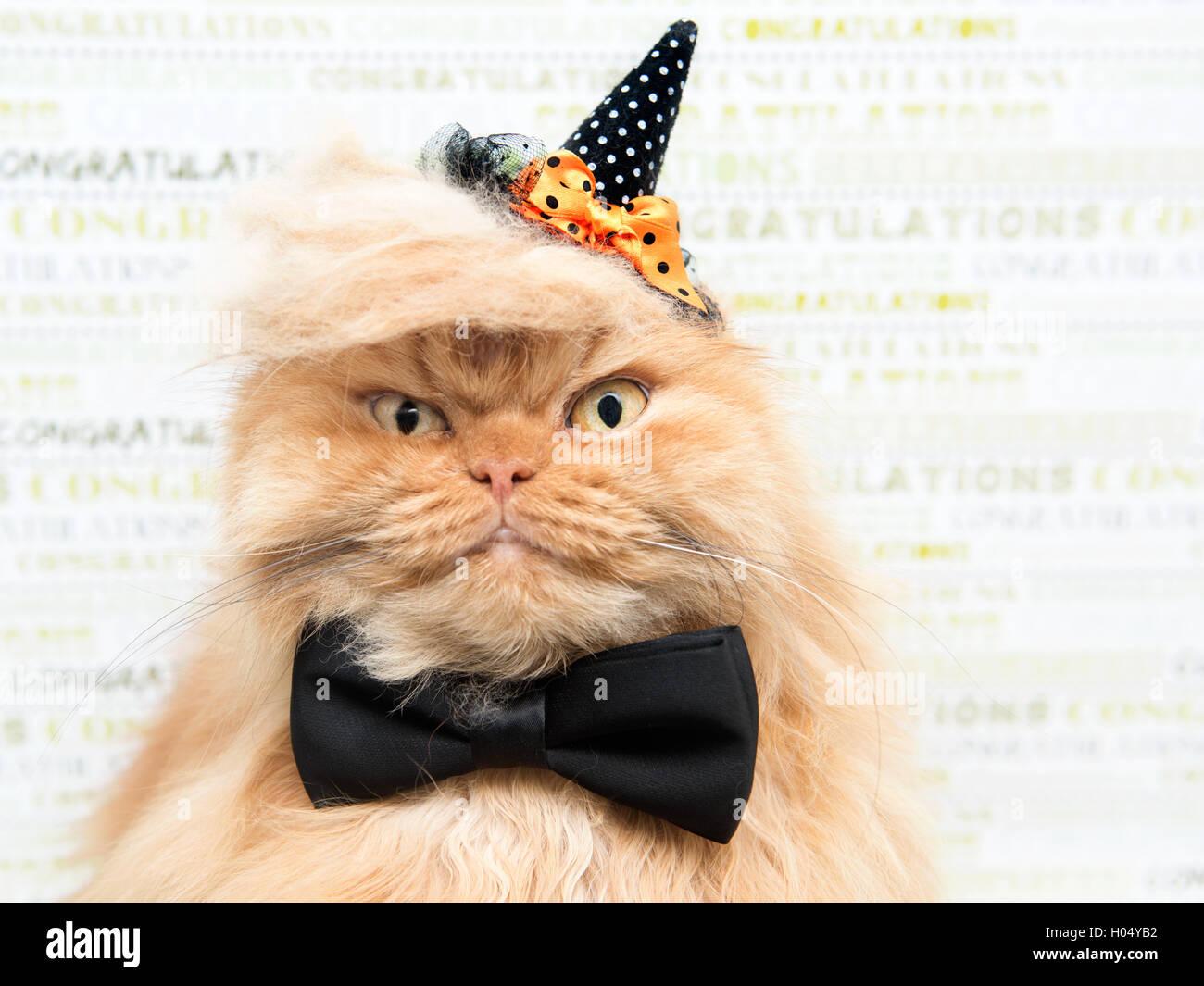 Persian cat dressing up for hallloween - Stock Image