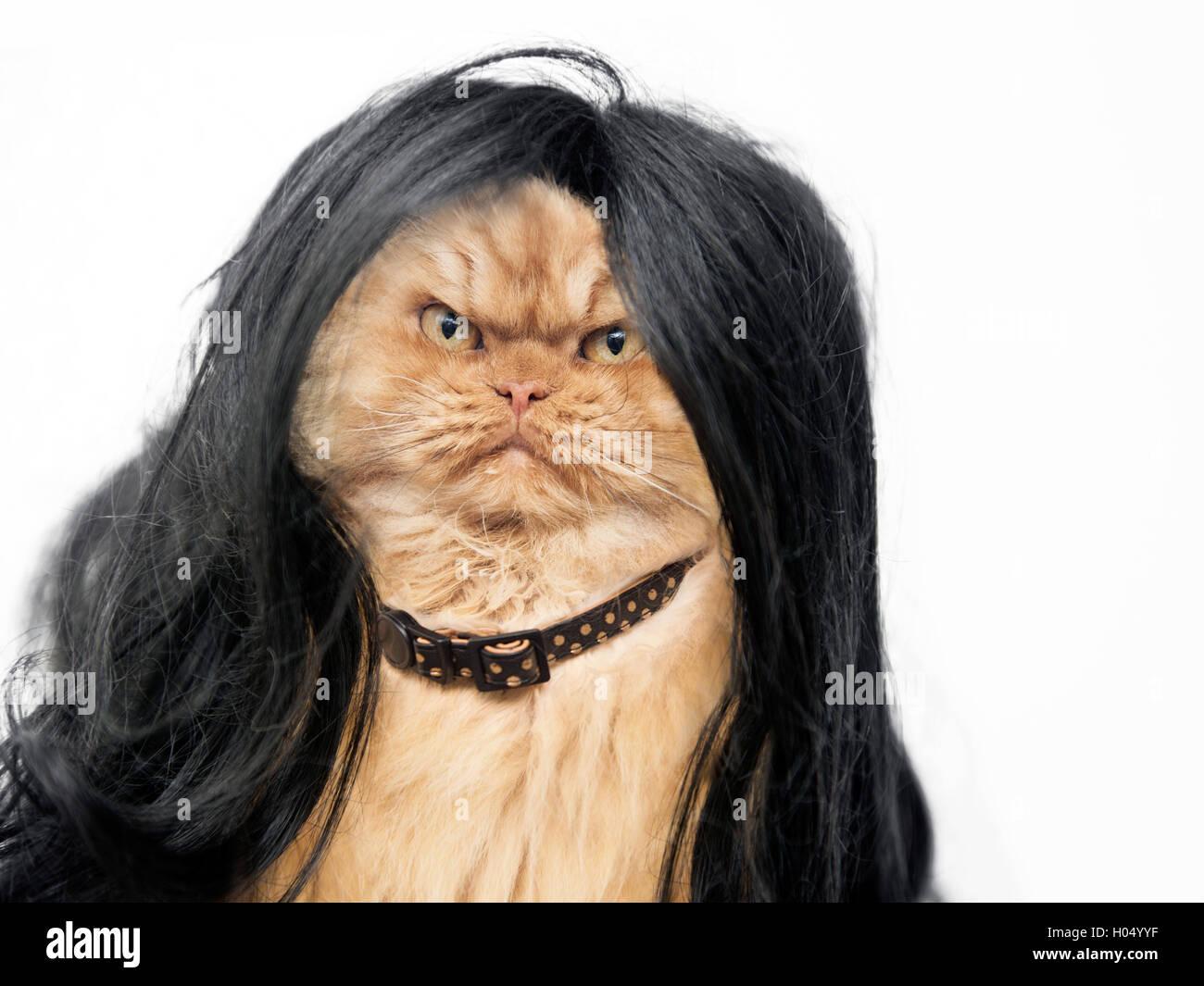 Orange Persian Cat wearing black wig - Stock Image