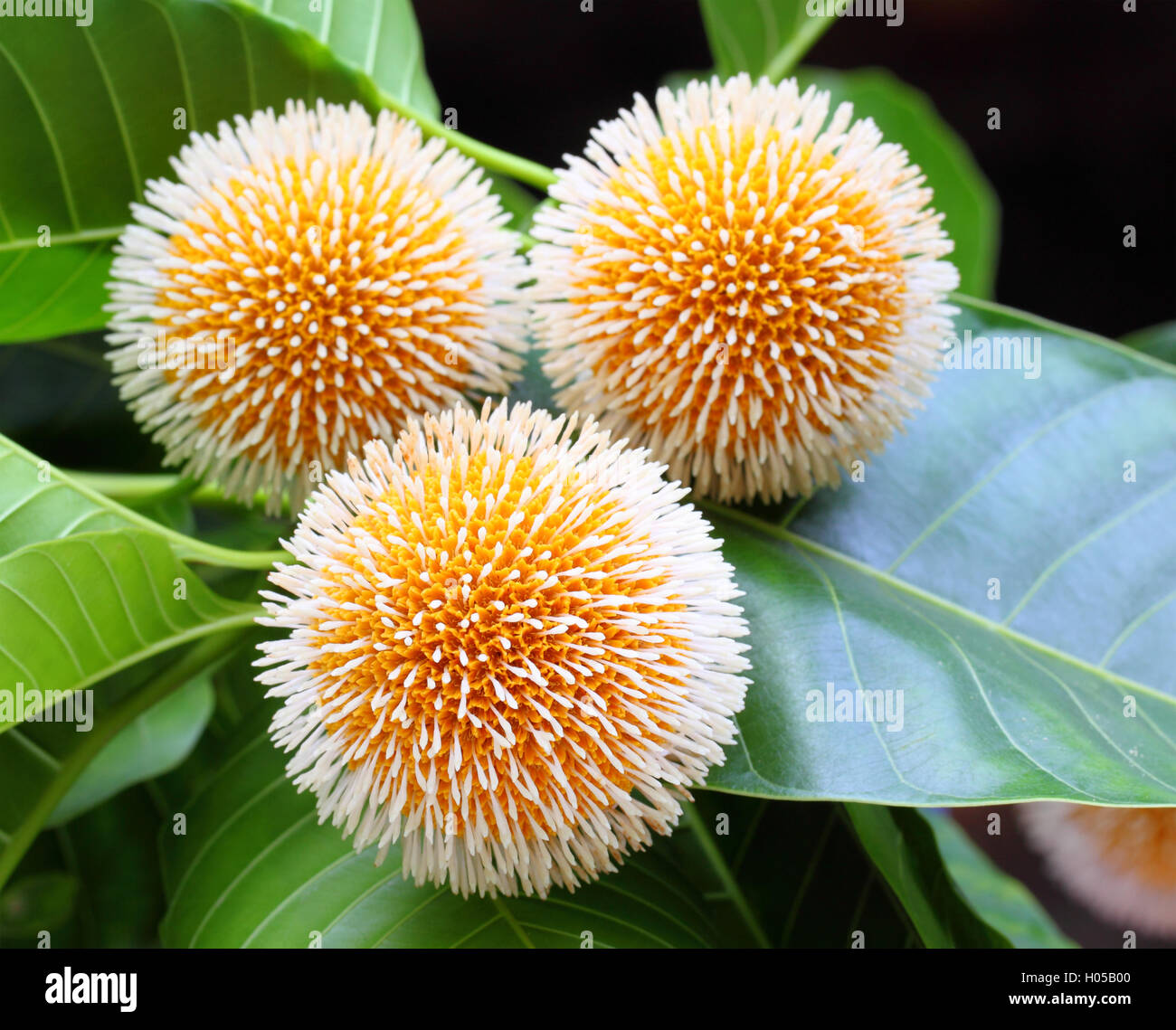 Kodom Flower Stock Photos & Kodom Flower Stock Images