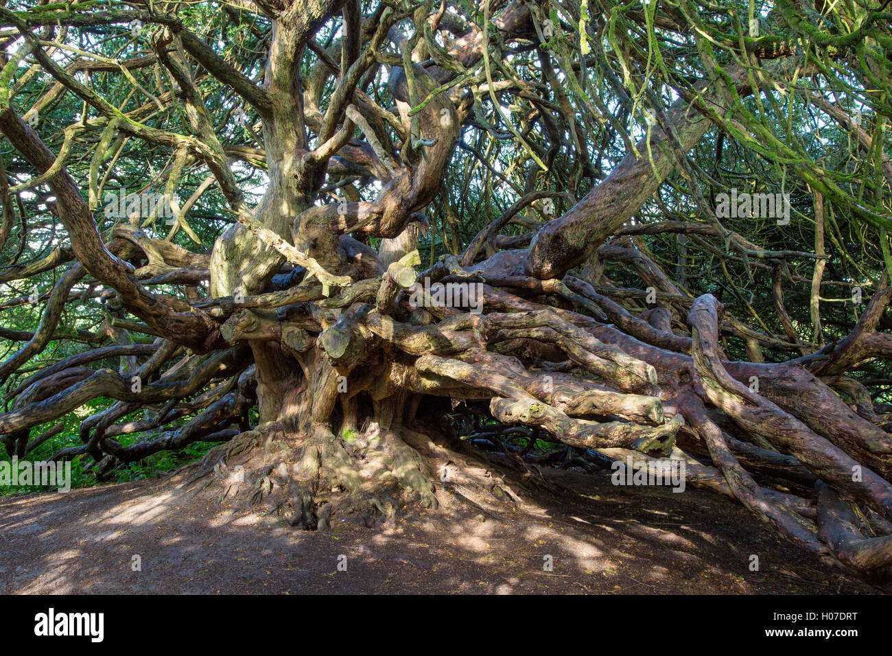 700 year old Yew tree on Crom Castle Estate property, County Fermanagh, Northern Ireland, UK - Stock Image