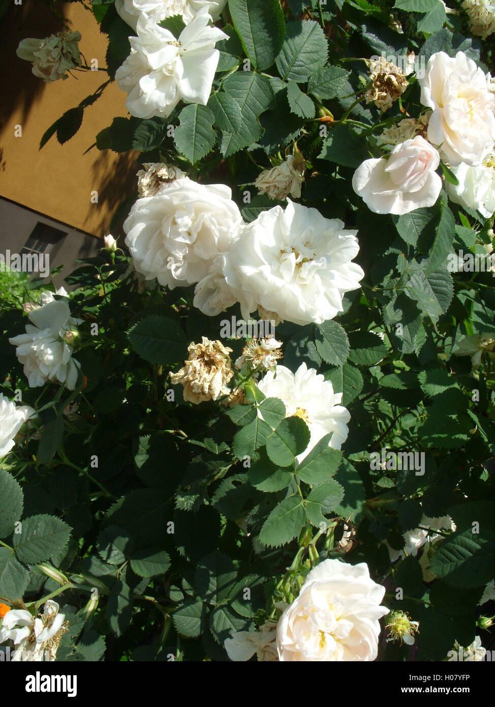 rose bielefeld