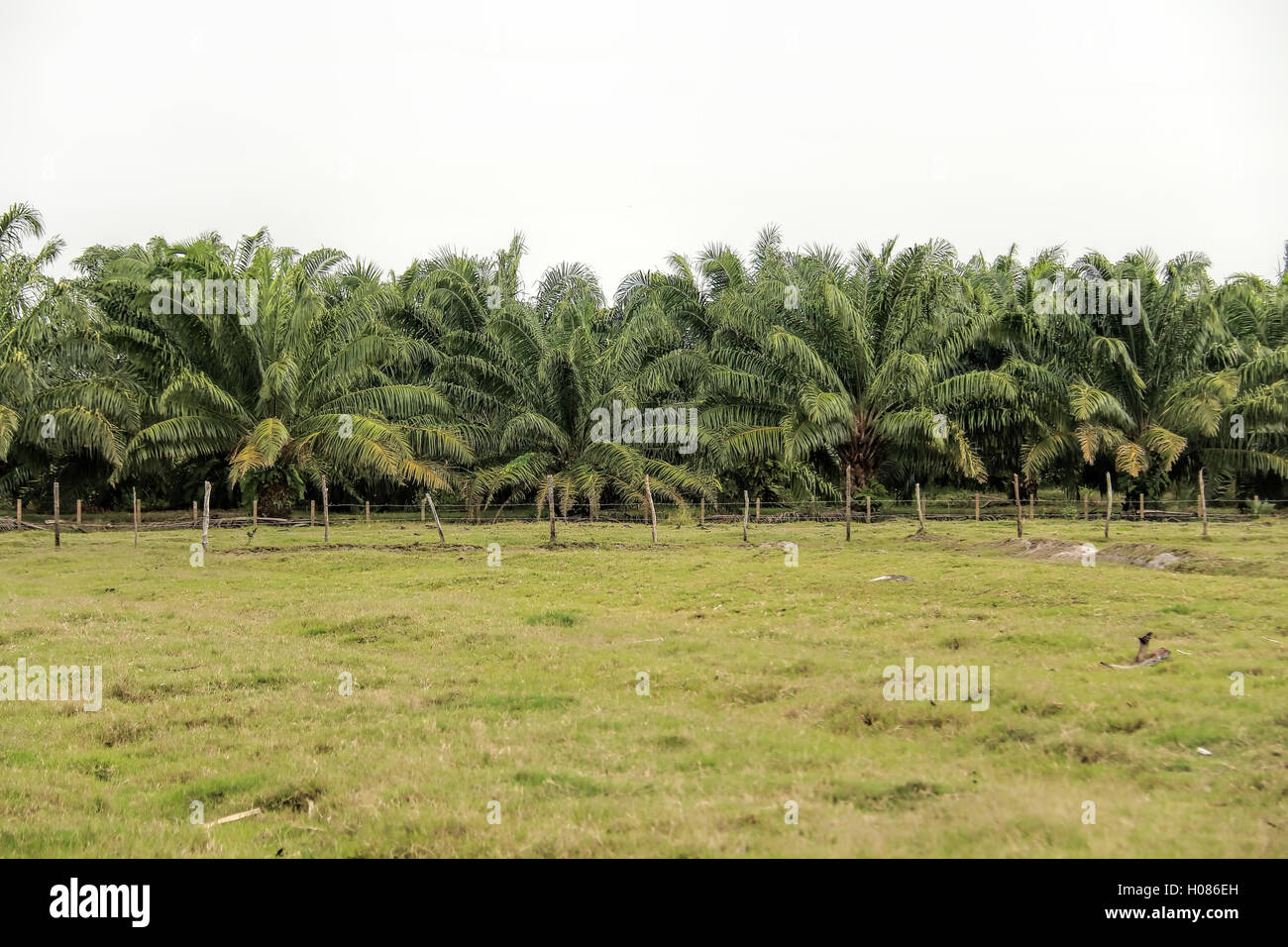 Palm monocots in the family Arecaceae family is the largest plant of French extraction plant fuel economy. - Stock Image