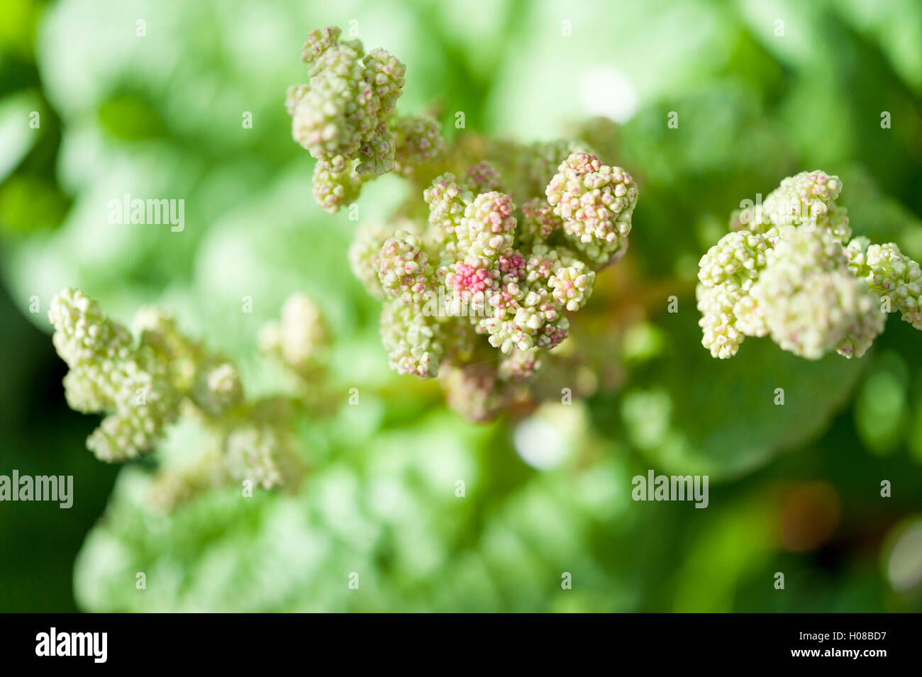 Flowers of a rhubarb plant, Rheum rhabarbarum, that has bolted or gone to seed. Stock Photo