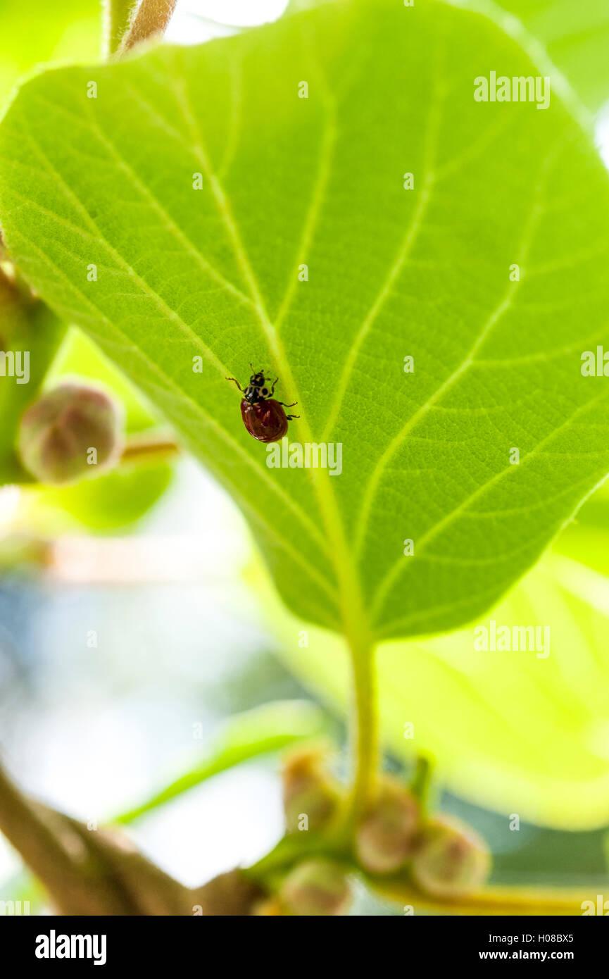 Red ladybug or ladybird, Coccinellidae, crawling on a kiwi plant leaf. - Stock Image