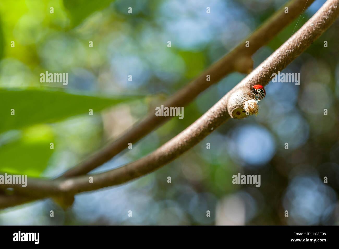 Red ladybug or ladybird, Coccinellidae, crawling on a kiwi vine. - Stock Image