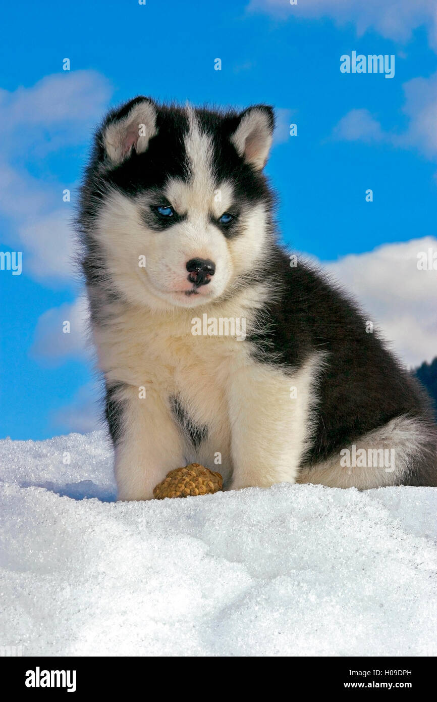 Siberian Husky Puppy Sitting In Snow Stock Photo 120680969 Alamy