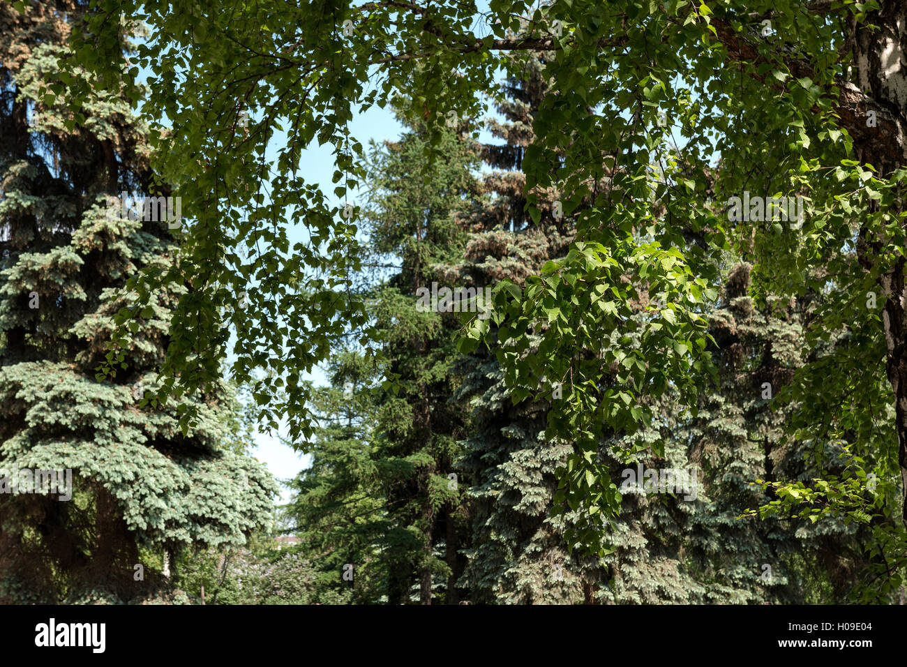 birch leaves on a background of big spruces - Stock Image
