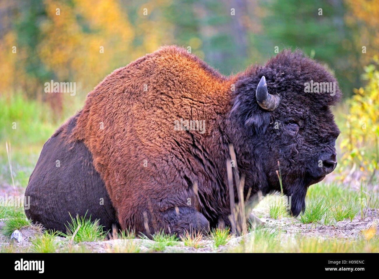 Portrait of Wood Bison Bull resting in meadow, Yukon Territory , Canada - Stock Image