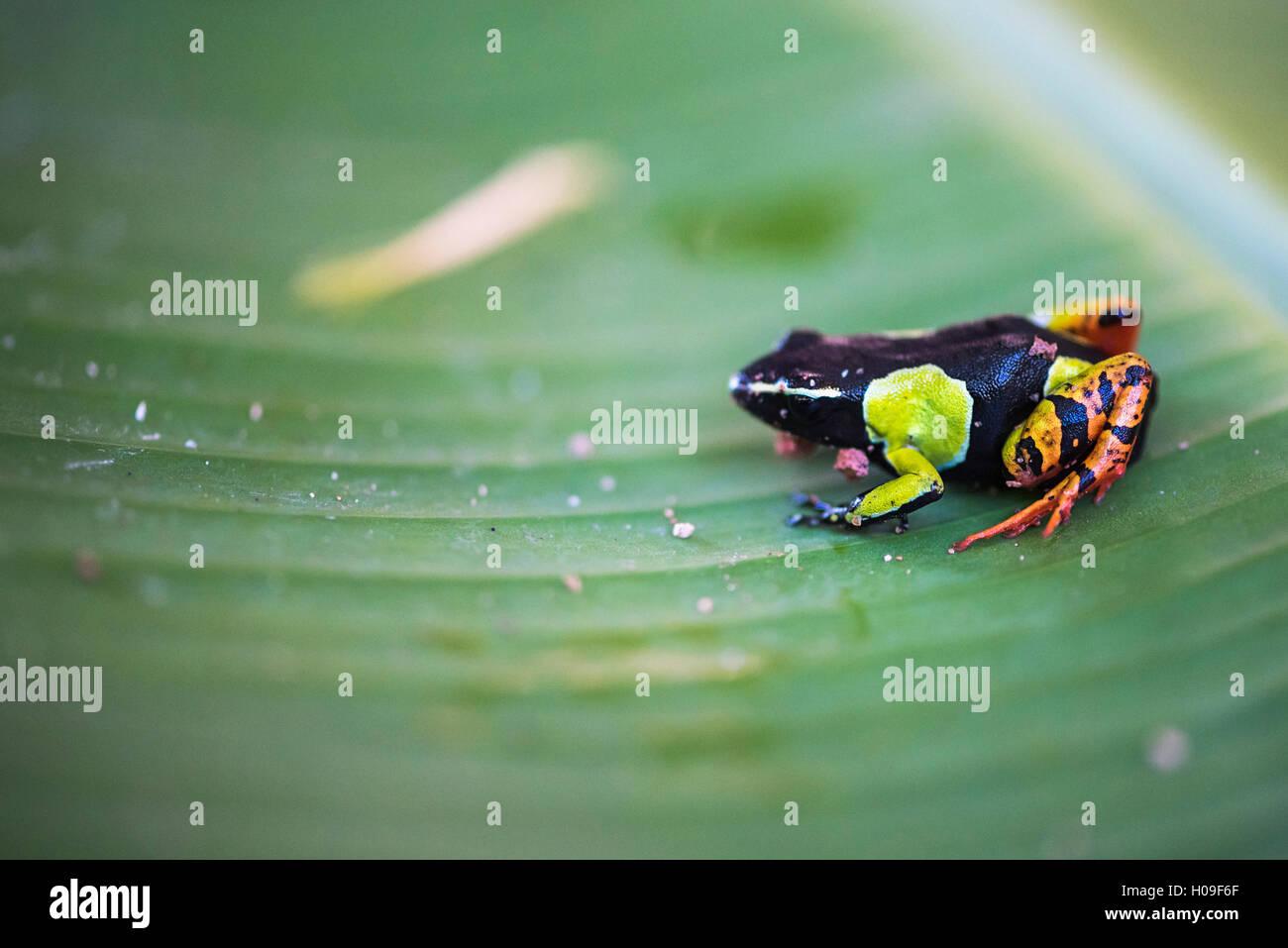 Mantella baroni, a frog endemic to Madagascar, Africa - Stock Image