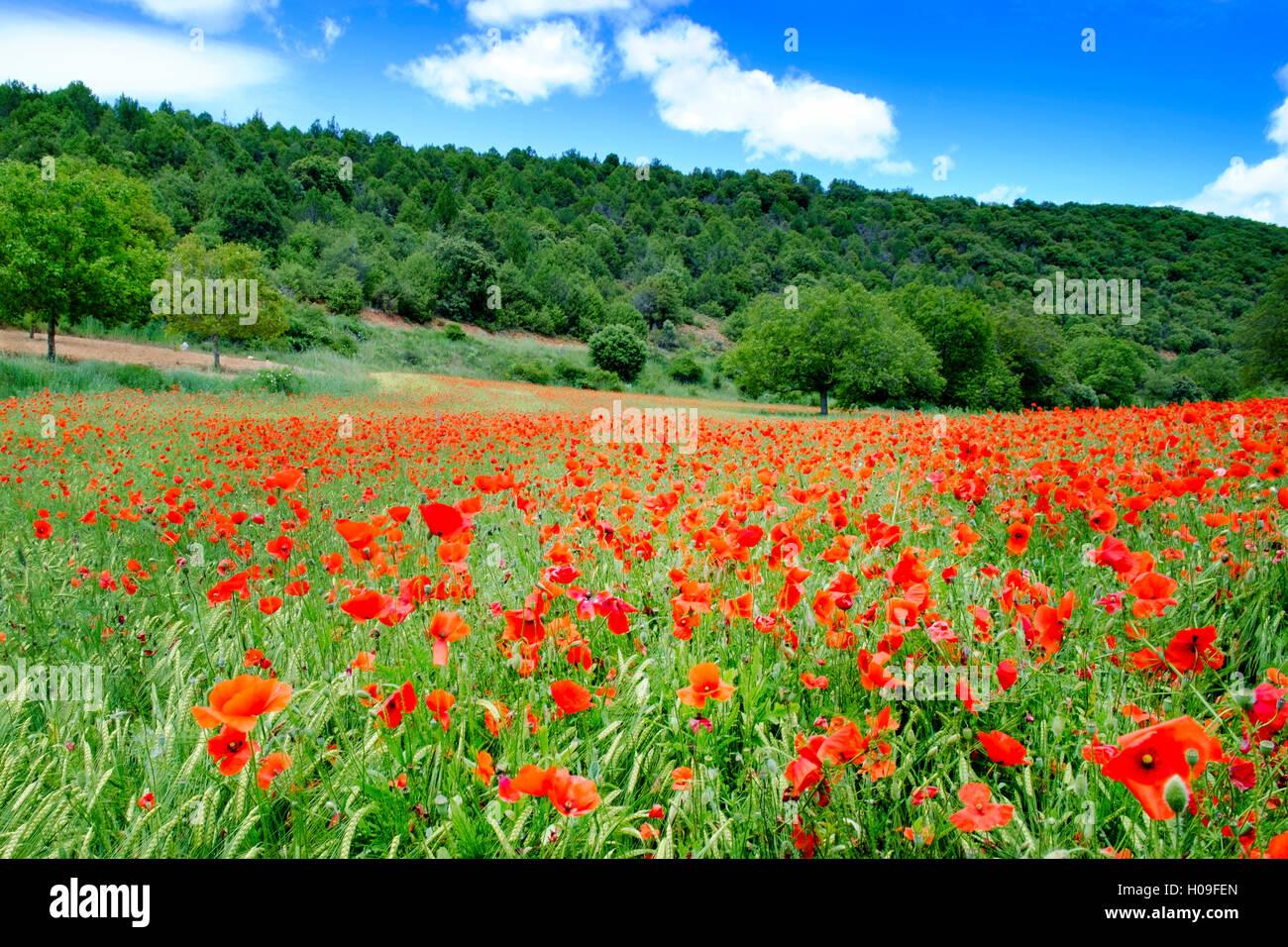 Poppy fields near Covarrubias, Castile and Leon, Spain Europe - Stock Image