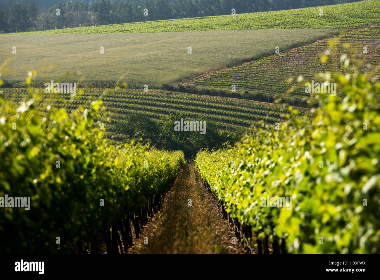 Vineyards near Stellenbosch in the Western Cape, South Africa, Africa - Stock Image