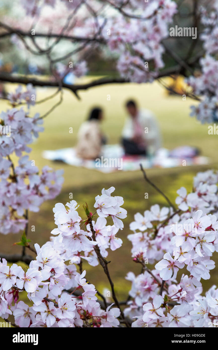 People relaxing and picnicking amongst the beautiful cherry blossom in Tokyo Imperial Palace East Gardens, Tokyo, - Stock Image