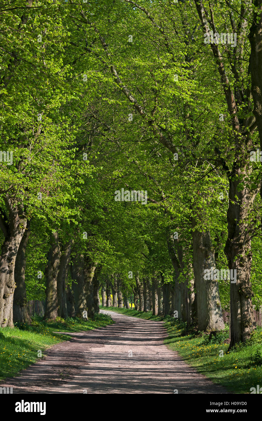 Largeleaf linden (Tilia platyphyllos) avenue, Mecklenburg-Western Pomerania, Germany Stock Photo