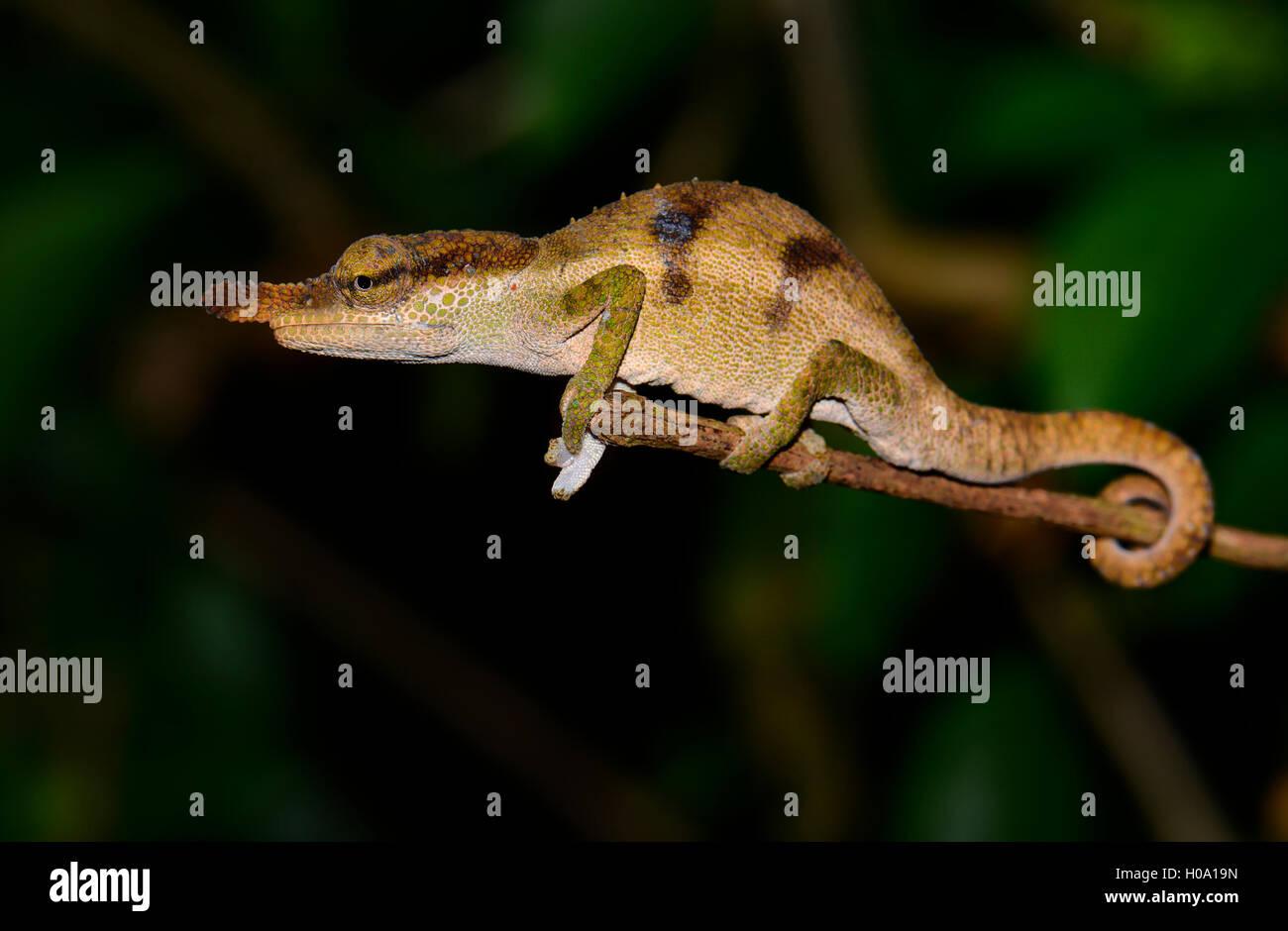 Chameleon (Calumma linotum), male, rainforest, Montagne d'Ambre, northern Madagascar - Stock Image